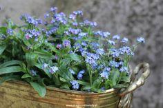 niezapominajki, niezabudka (Myosotis) Backyard, Garden, Flowers, Plants, Balcony, Patio, Garten, Lawn And Garden, Backyards