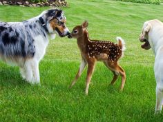 australian shepherd dog meets a fawn