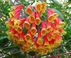 Bomarea 'Fiesta' [Family: Alstroemeriaceae] - Here's a flower that will stop people in their tracks!  Bomarea is an exciting, rare vine from the mountains of South America. Bomareas are closely related to Alstroemeria, the 'Peruvian Lily'; seen in flower arrangements.  This one puts on a fireworks show of multi-colored blooms that are among the most spectacular in the plant world.