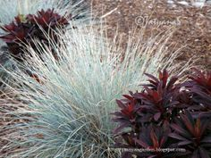 Eliza Blue Fescue Grass, love the contrast with other plant.