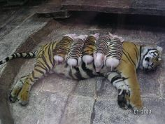 This momma tiger gave birth, but her cubs died. So the zoo dressed up some pigs in tiger cloth and they became her babies! How sweet is this???