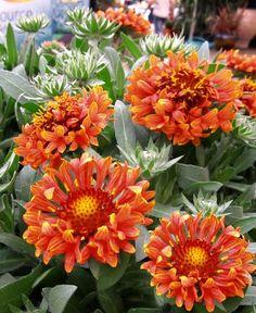 Blanket Flower Gaillardia x Fanfare Blaze from Growing Colors