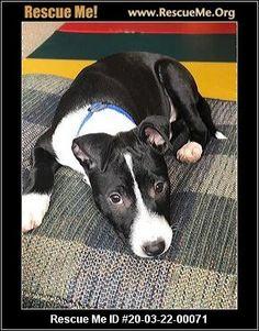 - Wisconsin American Staffordshire Terrier Rescue - ADOPTIONS - Rescue Me! Terrier Rescue, Terrier Dogs, Boston Terrier, Animal Adoption, Pet Adoption, Post Animal, American Staffordshire, Wisconsin, Animals