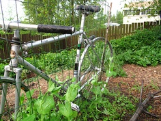 Another bicycle pea trellis. I certainly will be co-opting this idea for myself.