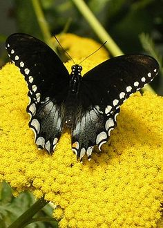Black Swallowtail by Mary Griffin