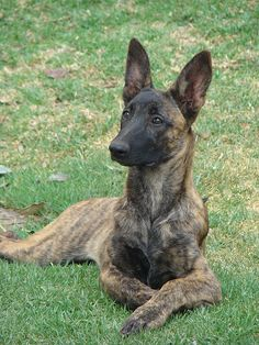 The Dutch Shepherd. These dogs are mainly used for the military and police work.