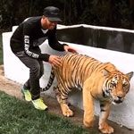 Sneaking up on a tiger | Gif Finder – Find and Share funny animated gifs