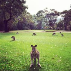 Guardians of the Golf Course #angleseagolfclub #victoria #australia #aussiesnaps #kangaroos #wildlife #golf #sandbunker #kangaroo #bellarinepeninsula #aussiewildlife #animals #nature #anglesea #instapic #instadaily #instaanimal #instalike #magnifico_moments #hot_shotz #amazing_captures #green #awesome #golfstagram  by magpybediva http://ift.tt/1KosRIg