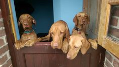 """""""Well obviously, If you let us out, we'll help you sweep the yard"""" Hungarian Vizsla, Red Dog, Cute Puppies, Dog Breeds, Yard, Dogs, Fun, Animals, Animais"""