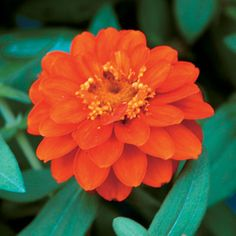"Profusion Double Fire Zinnia Seeds:  When we first grew Zinnia Profusion in our trial gardens here at Park several years ago, the ""oohs"" and ""aahs"" were deafening! And no wonder--Profusion Cherry (and its sunny sister, Orange!) won the AAS Gold Medal Flower Award--the first flowers to receive this prestigious award in a decade!"