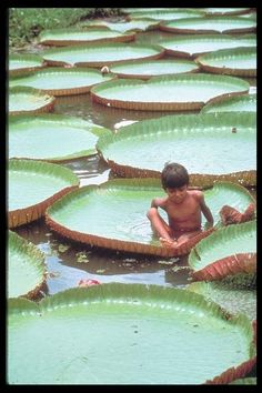 Lily pads of the Amazon