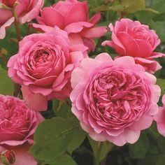 Princess Alexandra of Kent (Ausmerchant) #DavidAustinRoses #GardenRoses