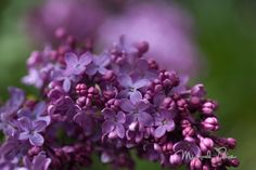 Lilacs are my connection to more-than-me within me.
