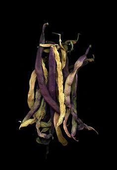 Phaseolus vulgaris (by horticultural art)