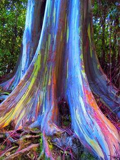 ஜ۩۞۩ஜ Azulestrellla ஜ۩۞۩ஜ: ●Eucalipto Arcoíris, es el único árbol multicolor de su especie.