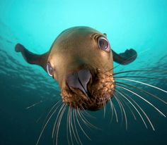 Say 'Hi!' to the Steller sea lion. Also known as the Northern sea lion, this incredible creature is a near threatened species of sea lion in the northern Pacific. Photo: Danita Delimont / Getty Images UK