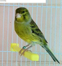 Spanish Timbrados - Green Canary