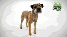 Raza BORDER TERRIER, descubre más sobre tu mascota en nuestra wiki especializada. (Próximamente disponible) www.petcivi.com/