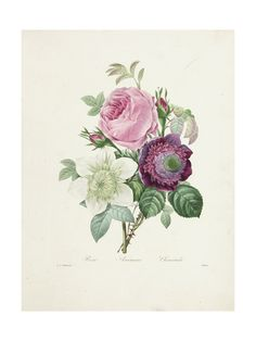 Pierre-Joseph Redouté, Art and Prints at Art.com