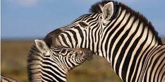 """Résultat de recherche d'images pour """"zebre"""""""