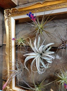 Picture frame to display air plants