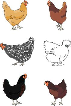 Chicken breeds - things to consider- breeds to look into :  Australorp, Brahma, Buckeye, Chantecler, Dominique, Faverolle, Jersey Giant, New Hampshire, Orpington, Plymouth Rock, Rhode Island Red, and Wyandotte