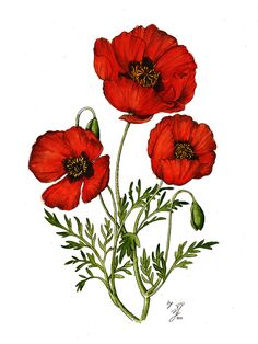 Famous poppy paintings poppies fowlers 104 poppy flower oil poppy flowers drawn with ink and water colors mightylinksfo Image collections