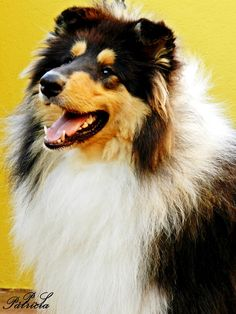 Sangtrait Guizmo 10 meses Black Collectión Rough Collie Cádiz