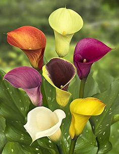 Zantedeschia Calla mixed (Arum Lily) is a perennial suitable for ponds bog gardens or moist soil. Summer Flowering Bulbs, Spring Bulbs, Calla Lillies, Calla Lily, Asiatic Lilies, Bulb Flowers, Flower Pots, Growing Flowers, Planting Flowers
