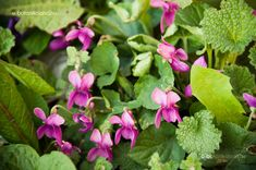Ibolya Sweet Violets, Pansies, Garden, Flowers, Plants, Pink, Inspiration, African, Couple