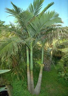 king and queen palm tree - Palm Tree Community Palm Trees Landscaping, Tropical Landscaping, Tropical Plants, Backyard Landscaping, Tropical Gardens, Queen Palm Tree, Landscape Design, Garden Design, Gardens
