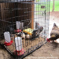 Integrating new chicks into existing flock, the playpen method Note to self.  Warning came up saying this pin led to inappropriate content or spam.  It didn't.  It goes to the Chicken Chick blog site, right to the page pinned.