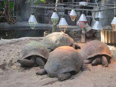 Aldabra tortoises in captivity