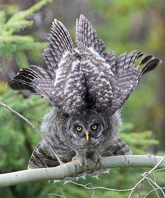 Great Gray Owl Juvenile of Prey Owl Photos, Owl Pictures, Strix Nebulosa, Great Grey Owl, Beautiful Owl, Wise Owl, Owl Bird, Tier Fotos, Pretty Birds