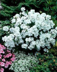 Tarhavuorineilikka Feuerhexe - Viherpeukalot.fi Moon Garden, Large Flowers, White Light, Lights, Plants, Color, Garden Ideas, Gardens, Witches