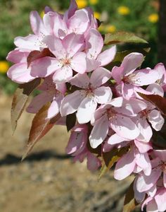 Trees Pink Spires Crable Tree Malus Pictures Moon Nurseries Nursery