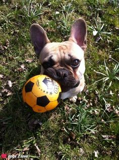 Oscar / franz. Bulldogge