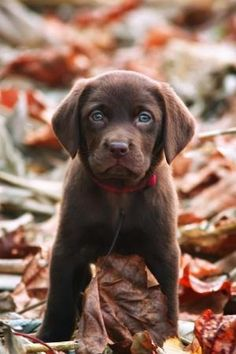 Beautiful chocolate lab puppy by patricé