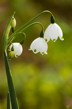 Lily Of The Valley Photograph by Zina Zinchik - Lily Of The Valley Fine Art Prints and Posters for Sale