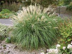 Golden helleri holly ilex crenata 39 golden helleri for Maiden fountain grass