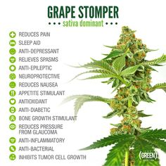 Grape Stomper at The Green Solution and its medicinal perks. www.tgscolorado.com