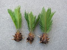 How to grow Sago palm from seed, and how to germinate sago palm seeds. How to grow cycads from seed, and how to germinate cycad seeds Garden Trees, Lawn And Garden, Garden Art, Sago Palm Care, Palm Tree Care, Palm Trees Landscaping, Landscaping Ideas, Lawn Fertilizer, Plant Cuttings