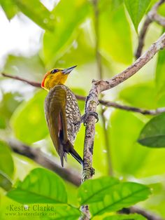 Yellow-throated Woodpecker in Guyana, South America (Piculus flavigula flavigula). Photos by Kester Clarke.
