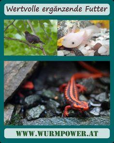 Kompostwurmer sind nicht nur als Kompostierungshilfe eingesetzt. Genauso wie in der Natur sind die wertvolle Futter. Kunden die Amsel, die Chinesische Krokodilmolche, Axolotl oder Süßwasserrochen haben oder unterstützen, haben bei uns die Würmer als Futter gekauft. 👍🏼 Für Baby Störche, Falken und naturlich Hühner war die Interesse auch da. 🙂  #wurmpower #kompostwürmer #amsel #krokodilmolch #axolotl #süßwasserrochen Axolotl, Fish, Pets, Baby, Skate, Falcons, Crocodile, Compost, Nature