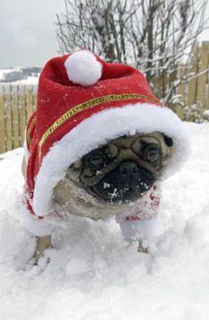 Snow loving Pug