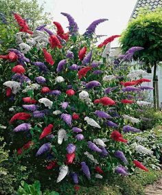 Acquista Arbusto delle farfalle in 3 var.Buddleia (Butterfly Bush) - Mixed - Shrub Buddleja davidii - These fragrant butterfly bushes in 3 fabulous colours will attract plenty of butterflies to the garden. The varieties: Royal Red, White Profusion an Trees And Shrubs, Flowering Trees, Trees To Plant, Outdoor Plants, Garden Plants, Outdoor Gardens, Garden Shrubs, Garden Seeds, Buddleja Davidii