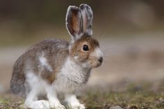 Image result for snowshoe hare spring