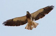 Swainson's Hawk at Chico Basin Ranch, Colorado. *Photo by Bill Maynard #ChicoBasinRanch