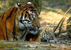 Sumatran Tigress and cub   Flickr