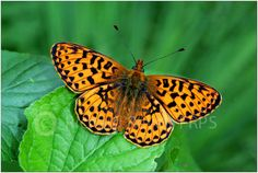 Richard Revels Photography - - Fritillary butterflies.